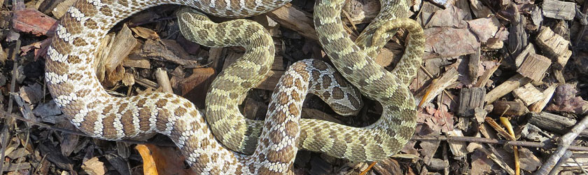 How Long Can A Hognose Snake Go Without Eating