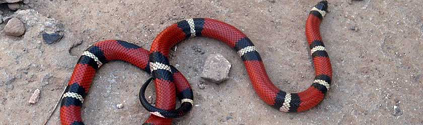 Do Coral Snakes Eat?