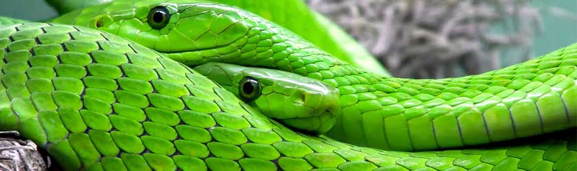 Find out the answer to the question what do snakes eat?